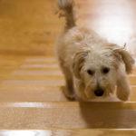 Puppy Treads Dog Running up Steps